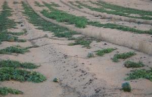 Cultivos en El Jable. Lanzarote