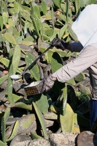 Señora recolectando cochinilla en Lanzarote