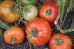 Tomates sobre enarenados (JCazorla2009)